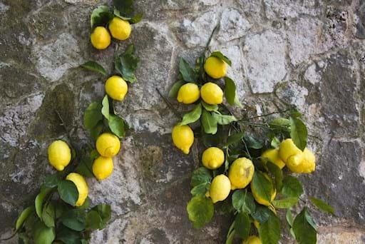 Amalfi Lemons closeup